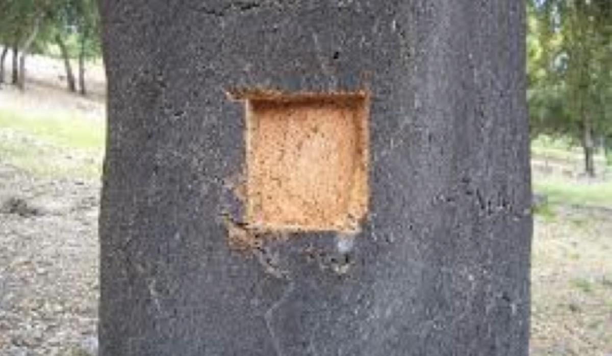 En esta fotografía apreciamos una CALA de un alcornoque previamente a su descorche para ver la calidad del corcho