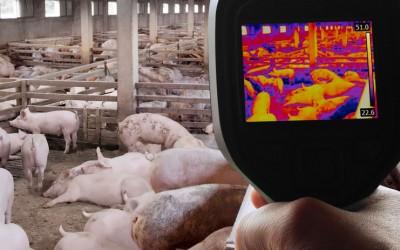 La Junta de Extremadura trabaja para impedir que la peste porcina africana llegue a dehesas extremeñas
